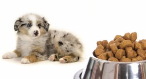 Feeding An Australian Shepherd Puppy – Routines And Schedules