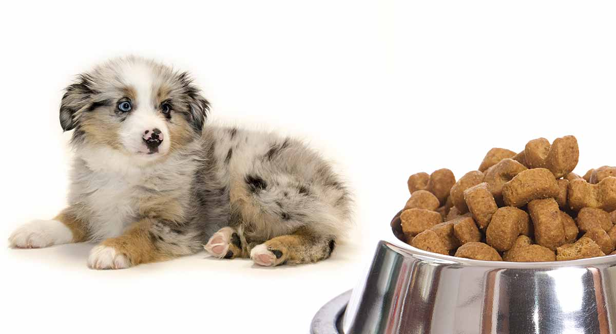 Feeding An Australian Shepherd Puppy Routines And Schedules