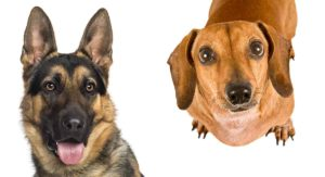 German Shepherd Dachshund Mix – What To Expect From A Curious Cross