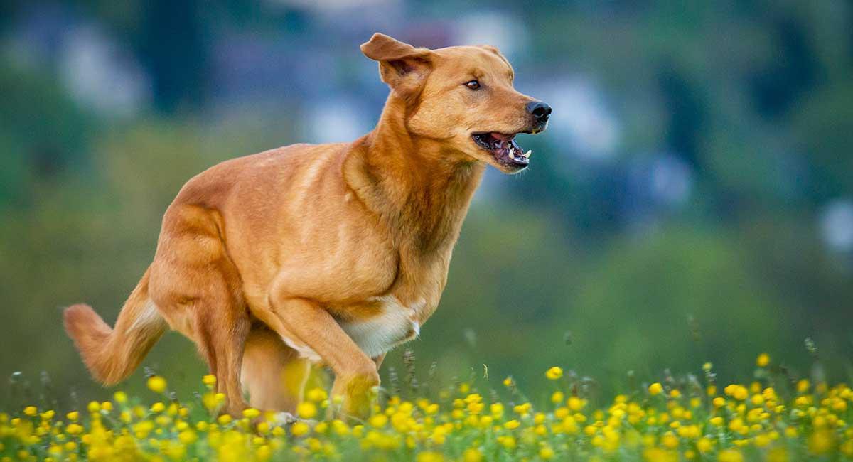 German Shepherd Golden Retriever Mix - Discover the Golden