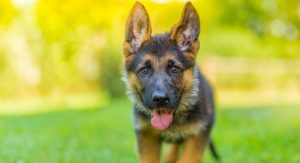 German Shepherd Price – The Cost Of Buying And Raising A GSD