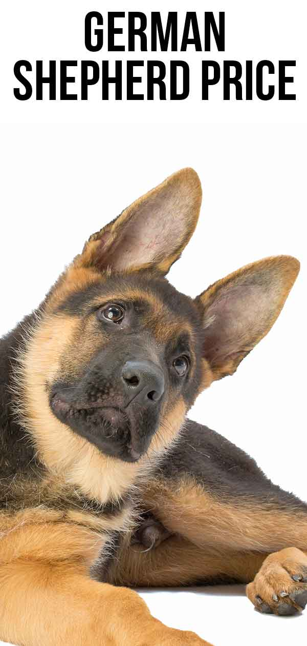 German Shepherd Price - The Cost Of Buying And Raising A GSD
