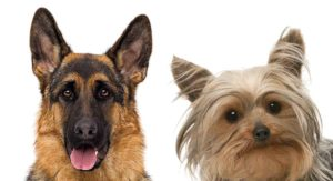 German Shepherd Yorkie Mix: When Little Meets Large