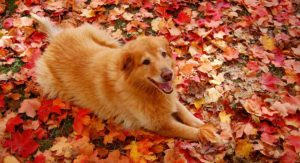 Golden Retriever Mix: Discover The Most Popular Golden Crossbreed Dogs