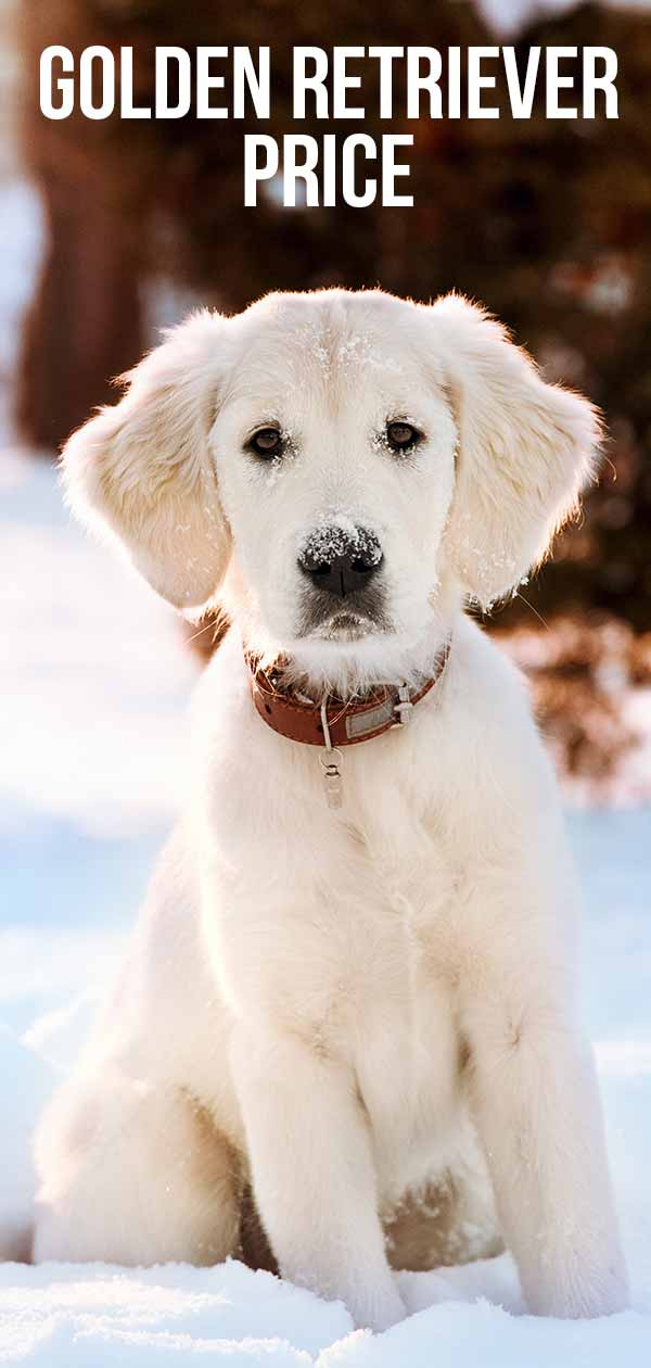 Golden Retriever Cost - How Much Does A Golden Cost To Buy And Raise