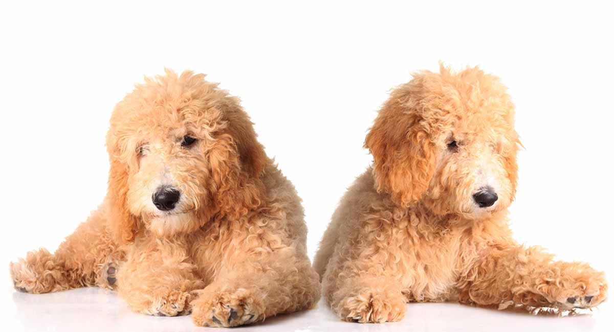 What Size Is A Goldendoodle Fully Grown