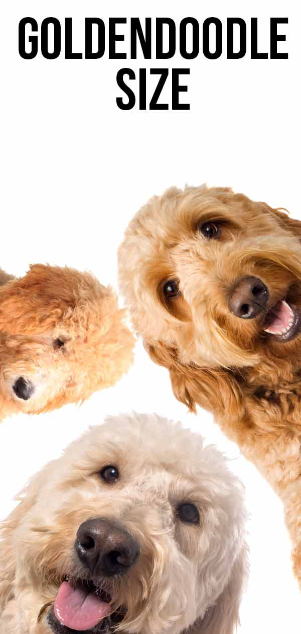 goldendoodle dog size