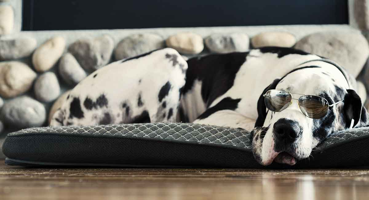 Harlequin Great Dane The Truth Behind Their Amazing Coat