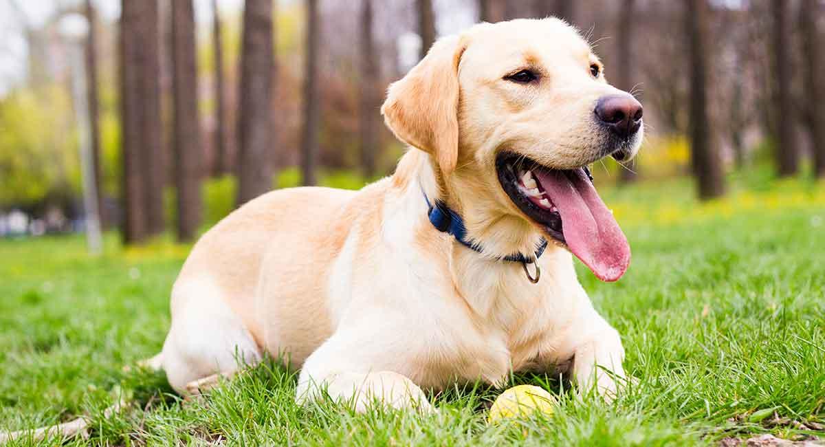 How Long Do Labrador Retriever Live