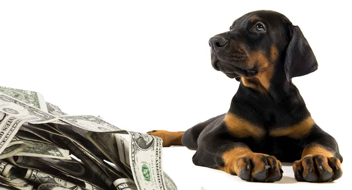 How Much Is A Doberman Pinscher Puppy To Buy And Raise