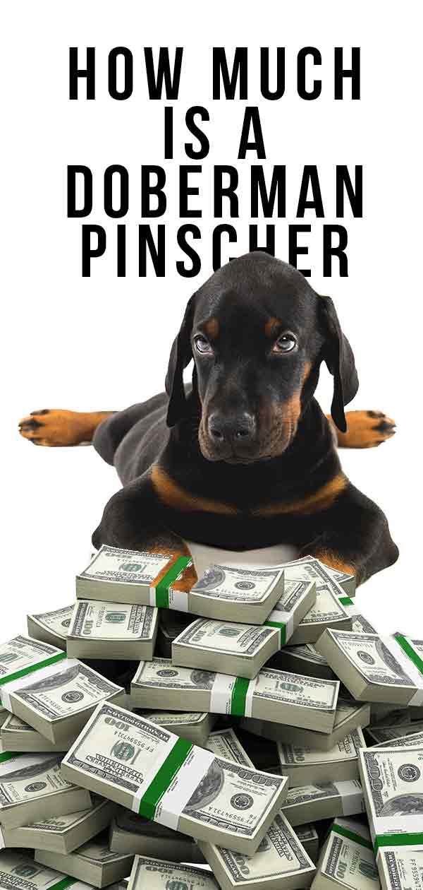 how much is a doberman pinscher