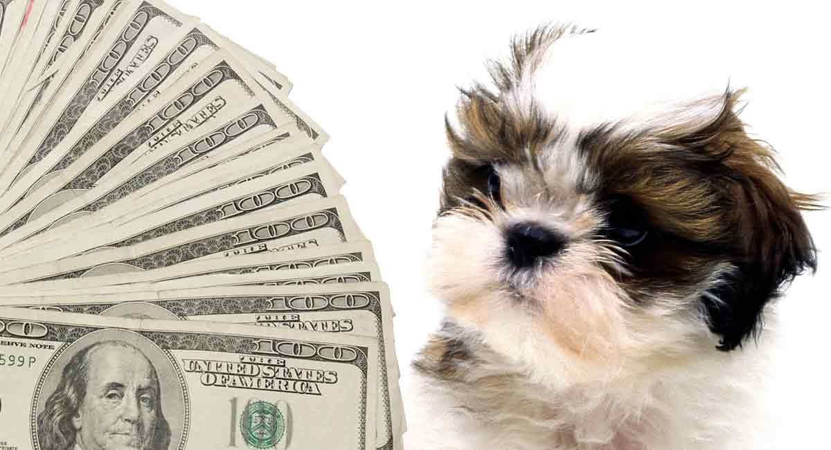 How much is a Shih Tzu