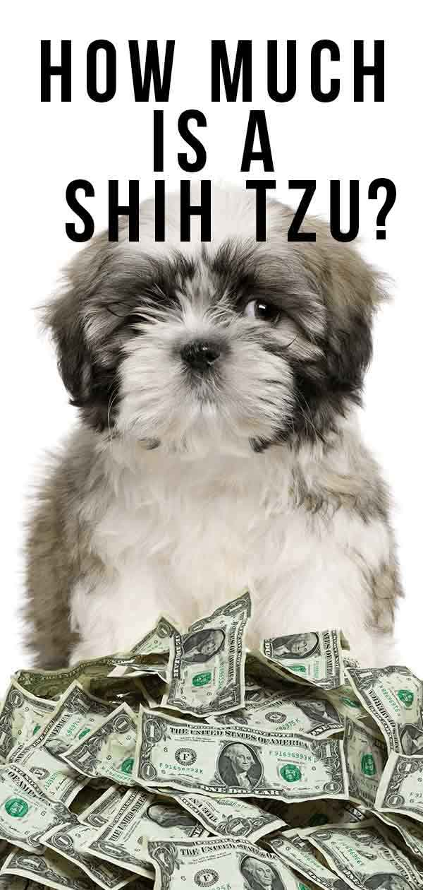 How Much Is A Shih Tzu Budgeting For Buying And Raising Your Pup