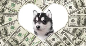 How much is a Siberian Husky