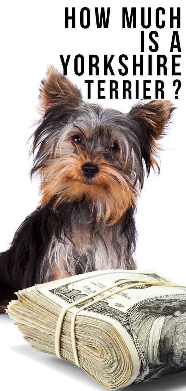 How Much Is A Yorkshire Terrier Puppy Costs Of Raising A Yorkie