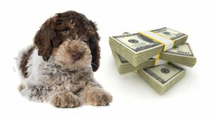 Lagotto Romagnolo Price – How Much Do Lagotto Romagnolo Puppies Cost?