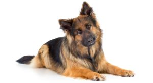 Long Haired German Shepherd – Your Guide To The Shaggy GSD