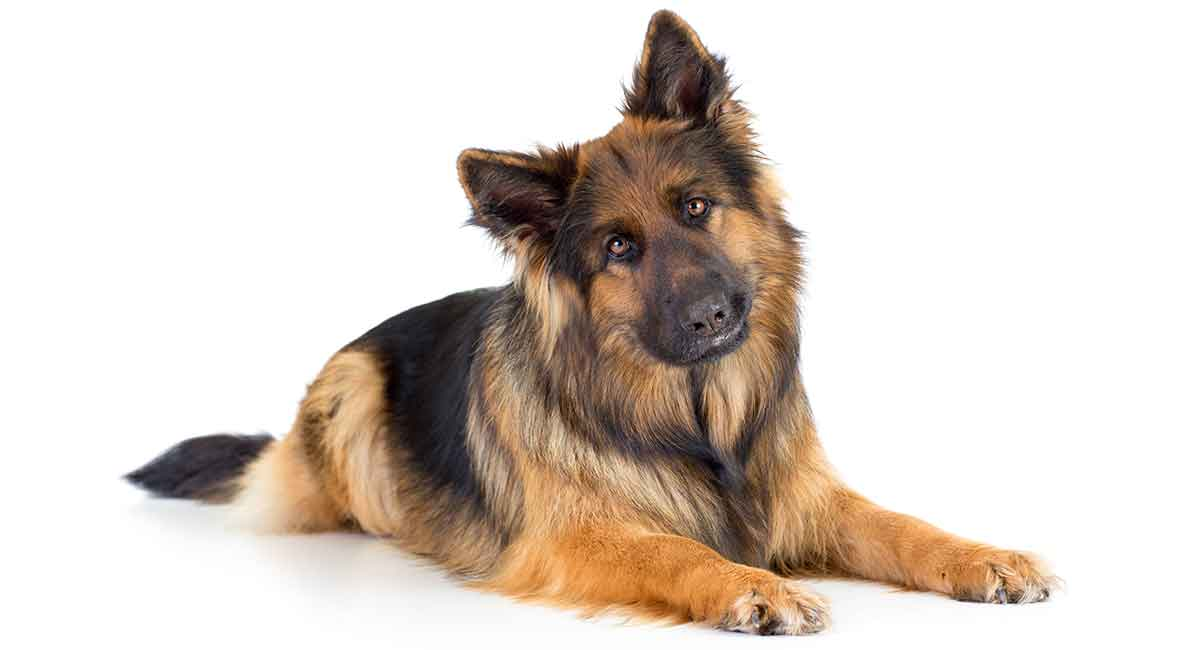 Long Haired German Shepherd Your