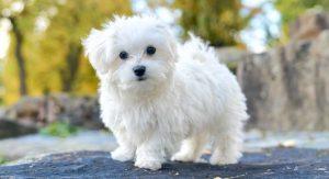 Maltese Lifespan – How Long Can Maltese Dogs Live?
