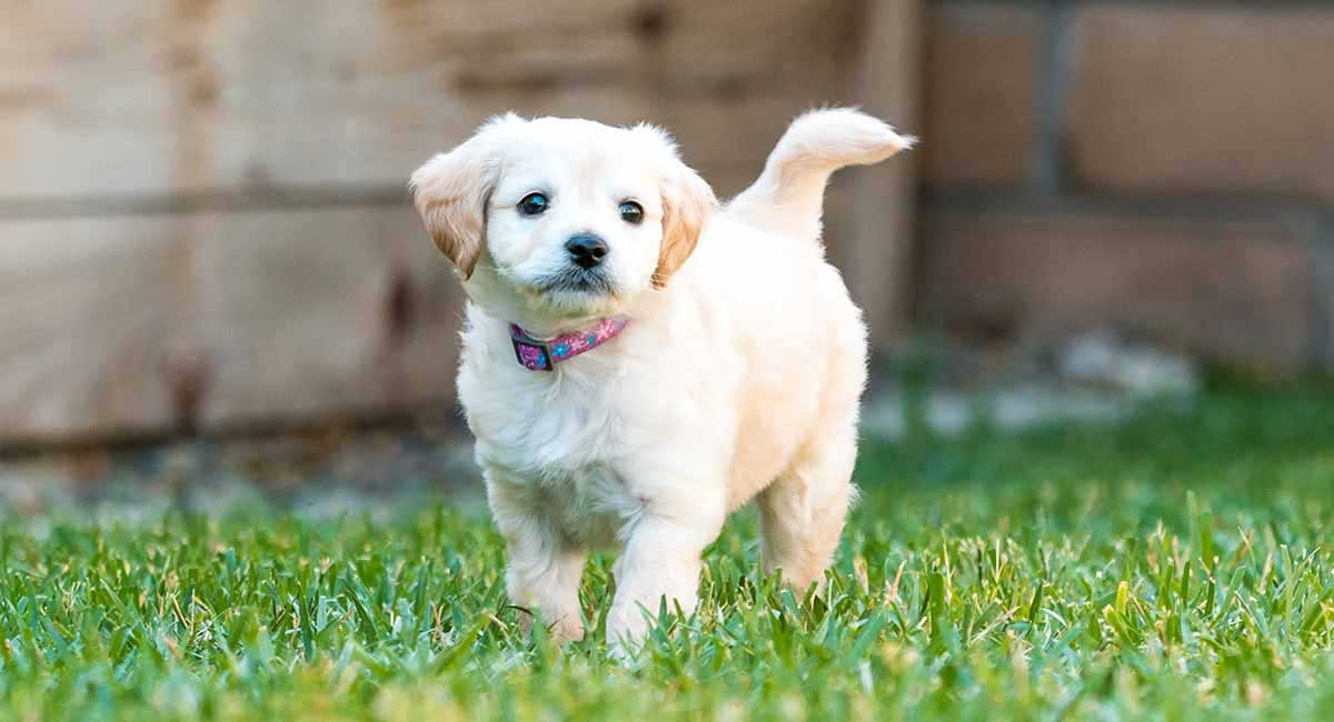 Mini Labradoodle - The Miniature or Toy Poodle Labrador