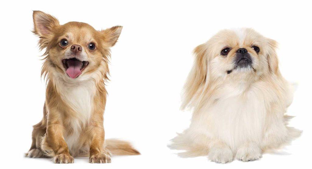 Pekingese Chihuahua Mix