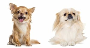 Pekingese Chihuahua Mix – Is This Small Cross The Perfect Lapdog?