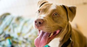 Pit Bull Temperament – Busting The Myths About Pit Personality