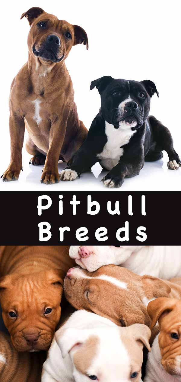 Pitbull breeds