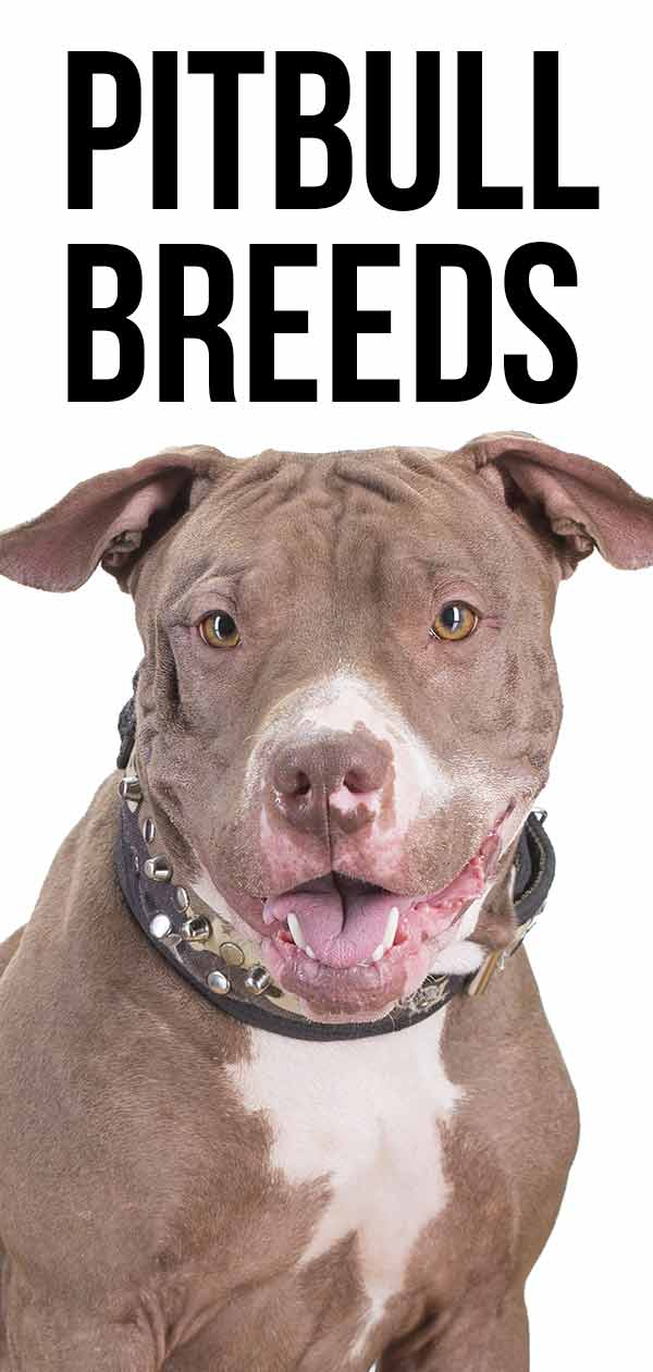 Pitbull Breeds Discover The