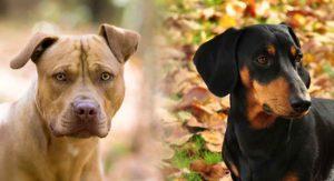 Pitbull Dachshund Mix – Loyal Companion or Lazy Lapdog?