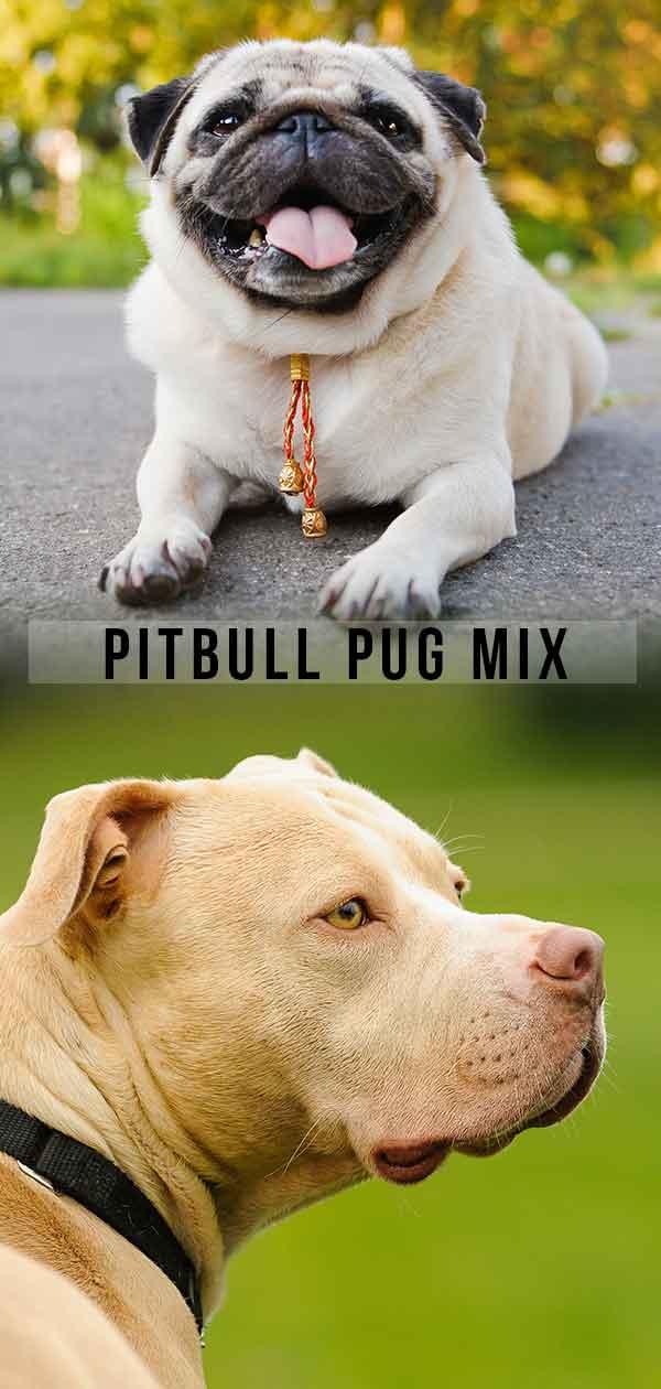 Pitbull Pug Mix