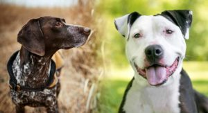 Pointer Pit Bull Mix – Is This Lively Cross The Right Choice For You?