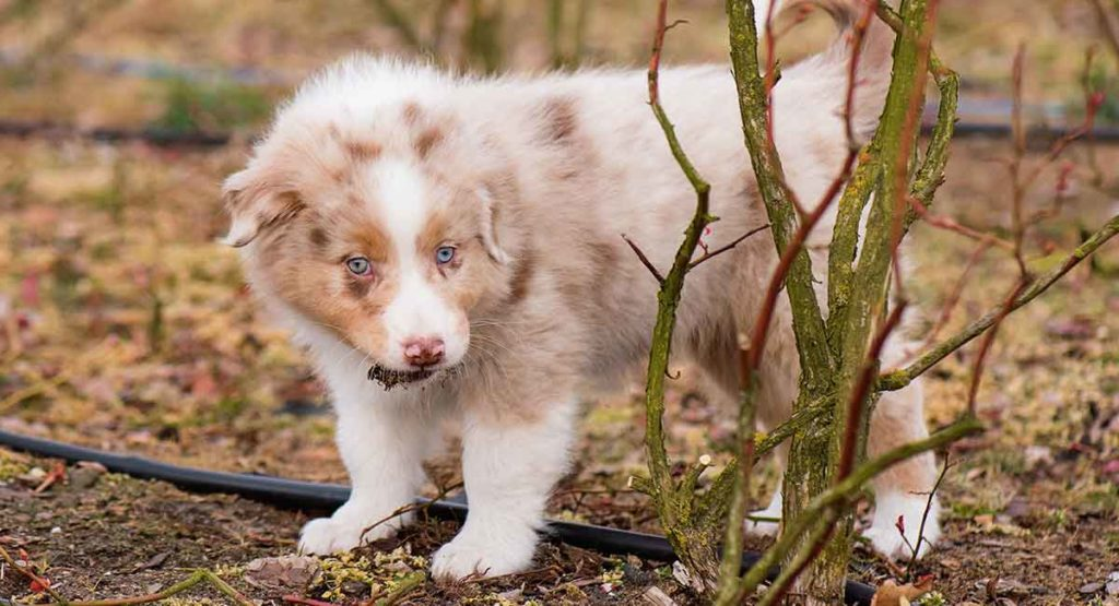 Red Merle Australian Shepherd dog