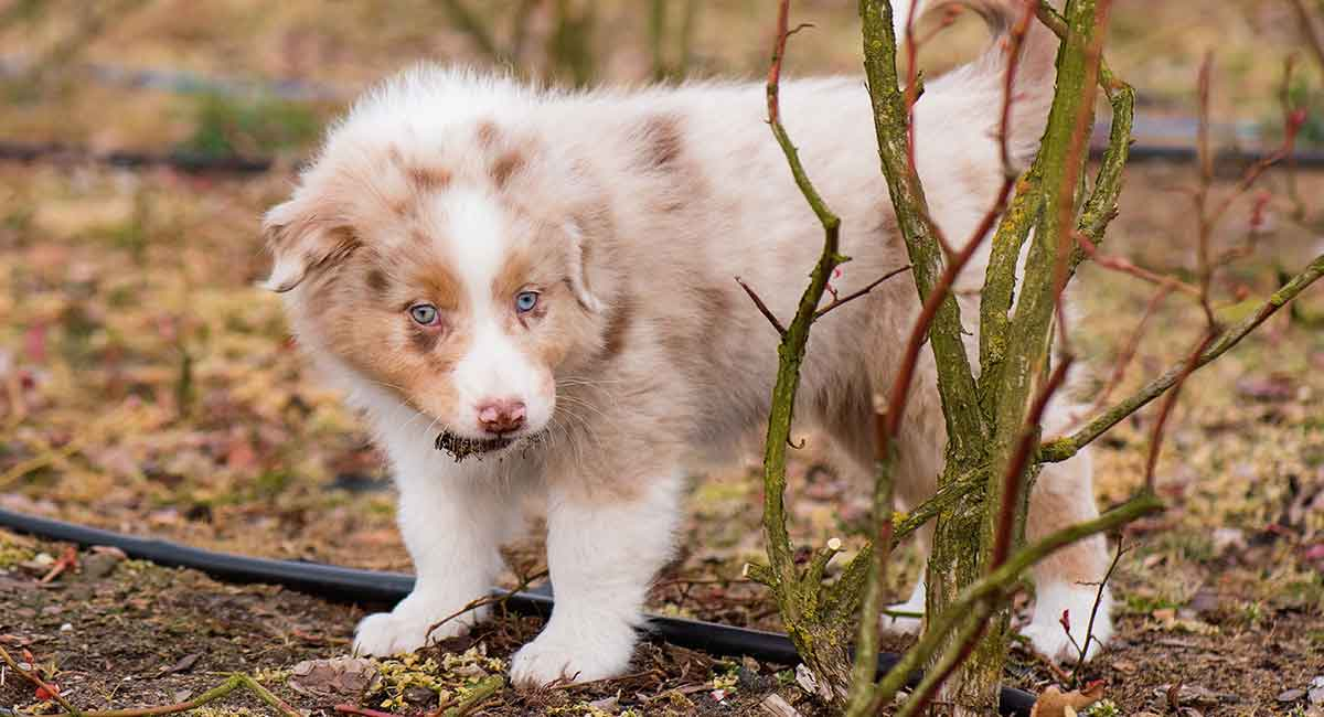 Red Merle Australian Shepherd Dog Facts And Fun