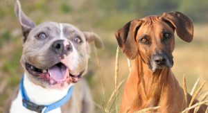 Rhodesian Ridgeback Pitbull Mix – Great Guard Dog or Loyal Companion?