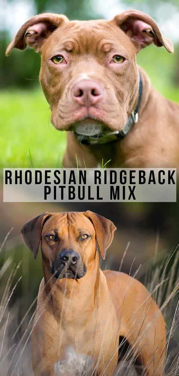 Rhodesian Ridgeback Pitbull Mix