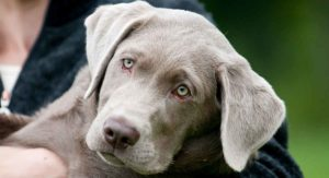 Silver Lab Facts And Fun – Is This Your New Perfect Puppy?