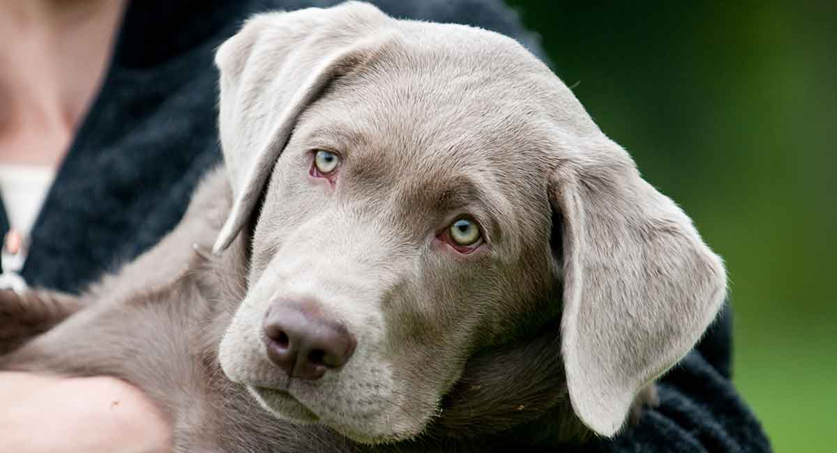 Silver Lab Facts And Fun Is This Your New Perfect Puppy