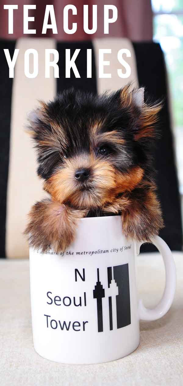 4fa1d417b50 Teacup Yorkie - A Guide To The World's Smallest Dog