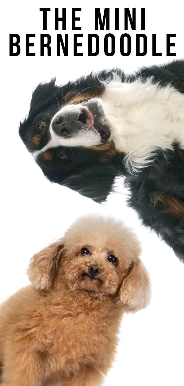 The Mini Bernedoodle - A Giant And Miniature Pup Combined