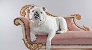 White English Bulldog: Is He a Happy, Healthy Puppy?