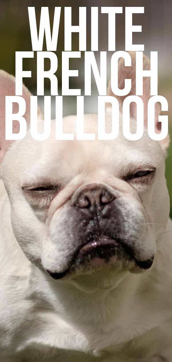 white french bulldog