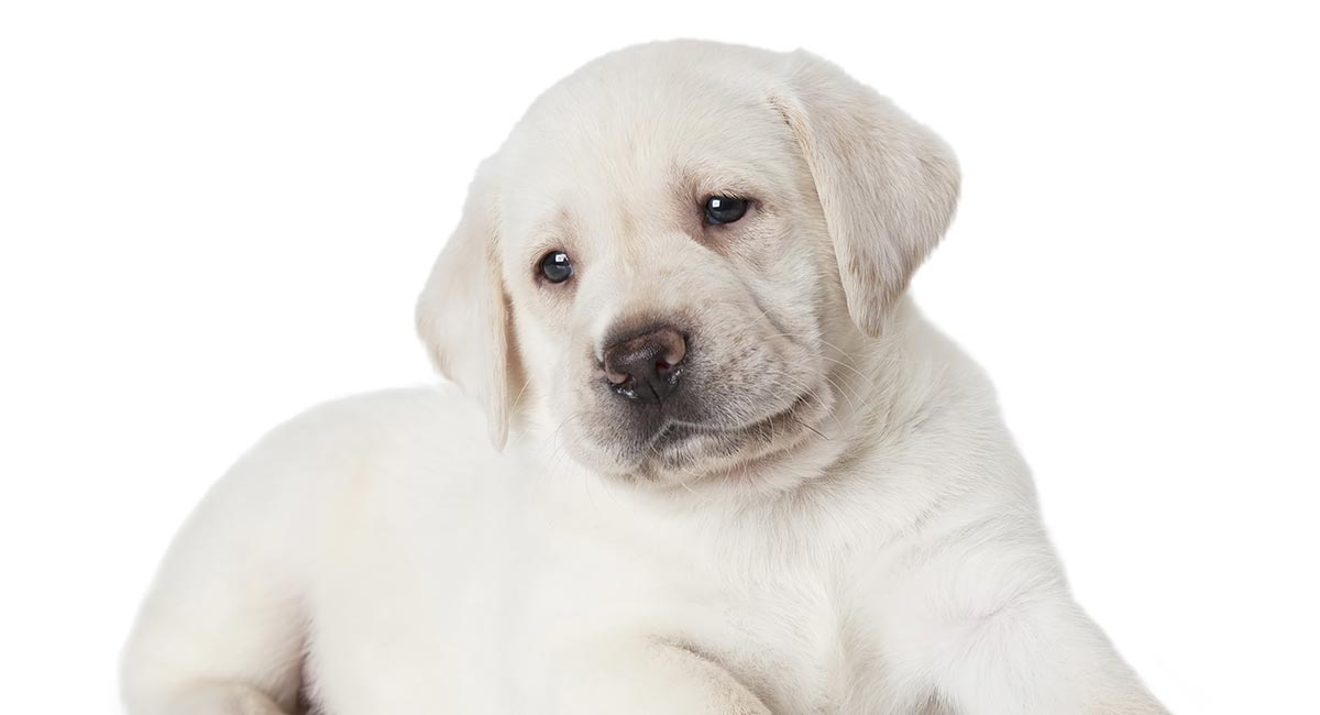 White Labrador The Palest Shade Of Yellow Lab
