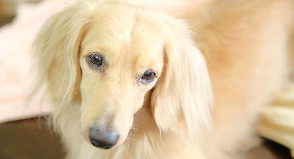 White dachshund