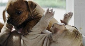 American Bully – Your Guide to the Gruff but Tender Bully Pit