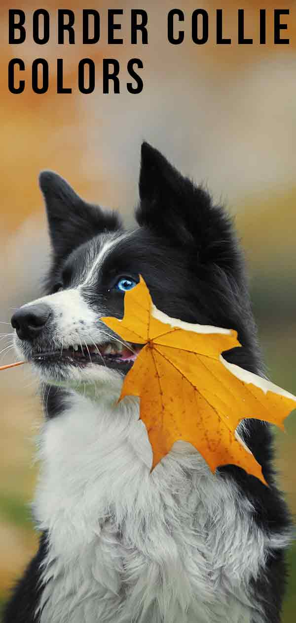 Border Collie Colors