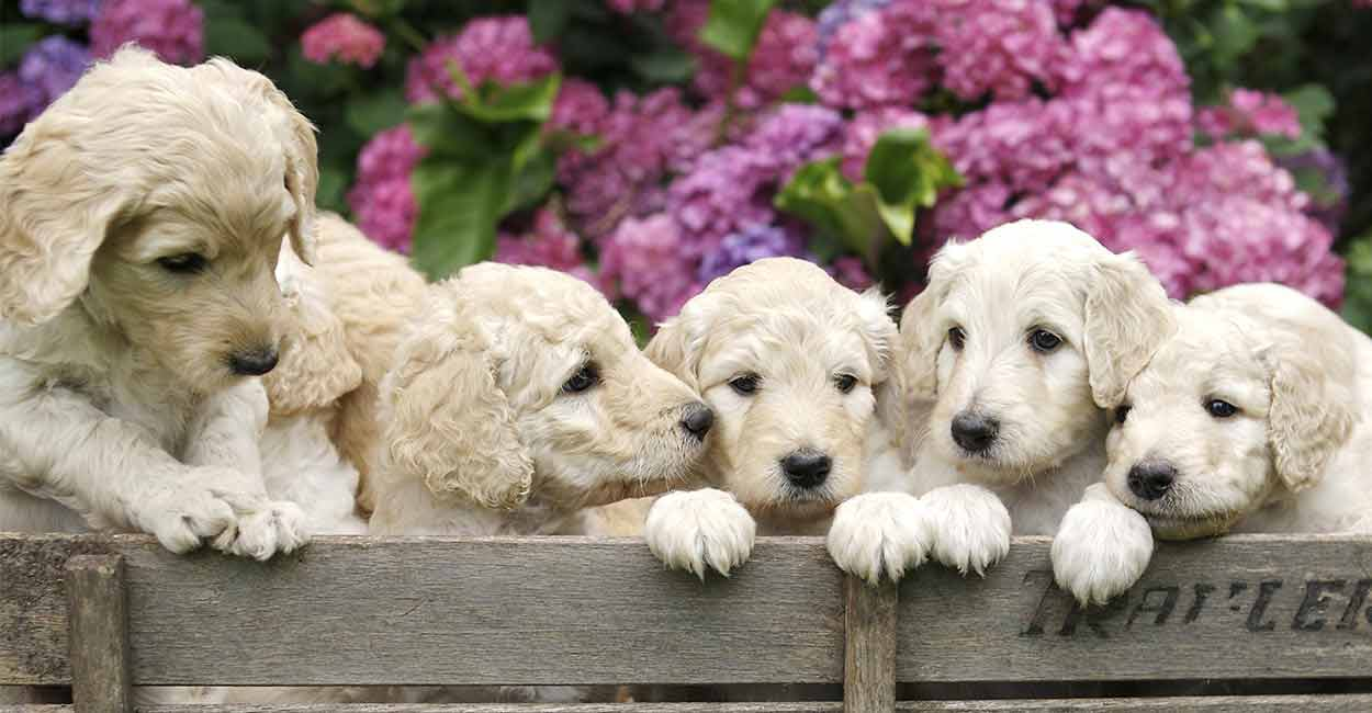 miniature labradoodle puppies