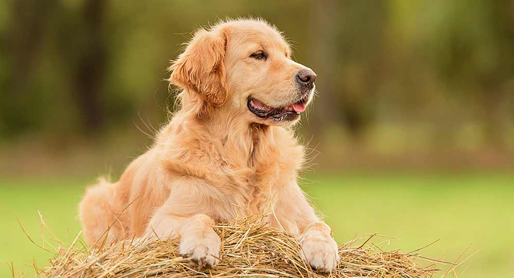 golden retriever on straw bale