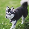Alaskan Klee Kai: The Spitz Dog with the Husky Look