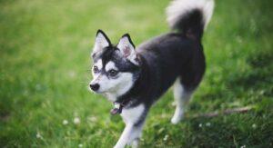 Alaskan Klee Kai: The Spitz Dog with the Husky Look